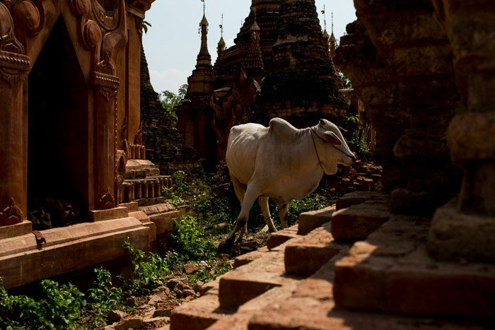 An underexposed photo of a cow at a temple