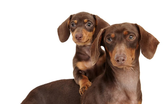 Adorable pet portrait of a brown dog with a puppy on its back by Shaina Fishman Photography.