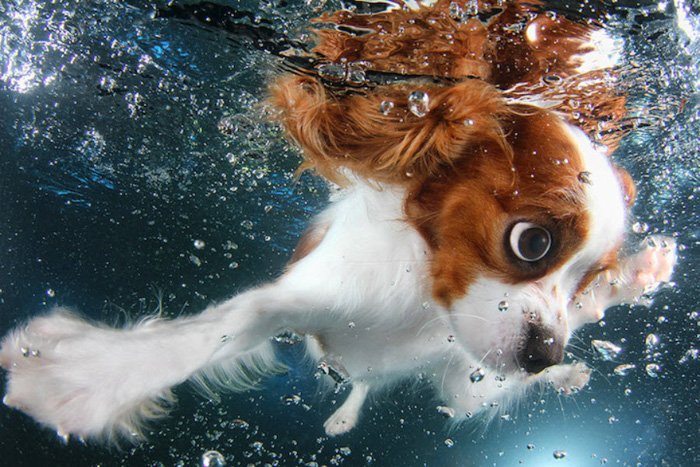Incredible underwater portrait of a cute dog swimming by Seth Casteel