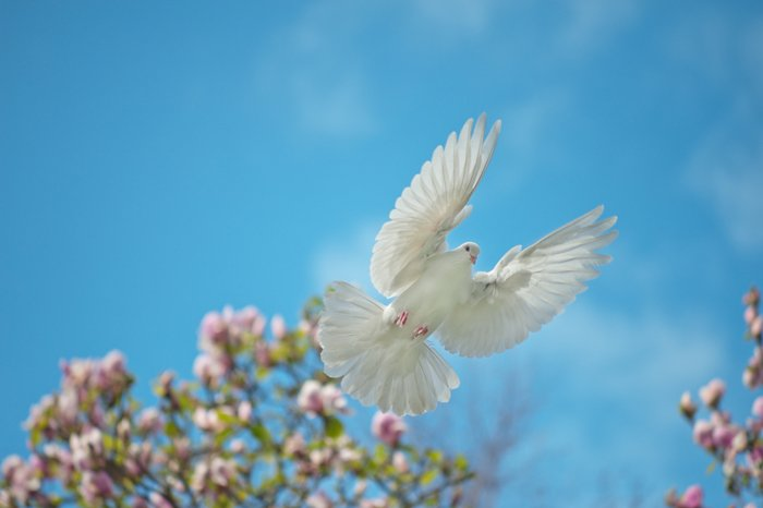 A white dove in flight - stock photography styles
