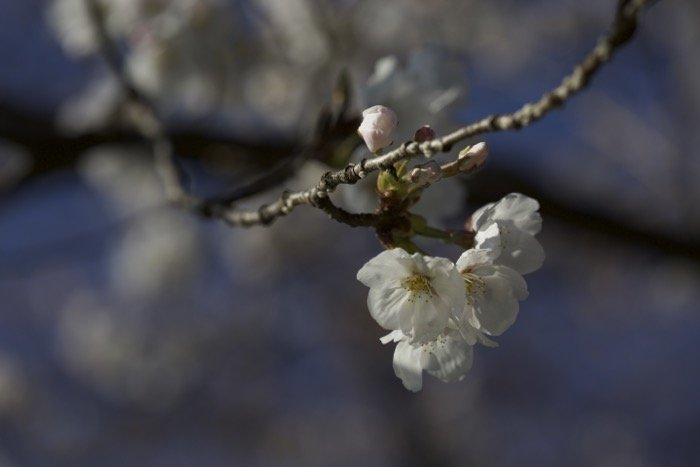 A sharp image of cherry blossoms on a tree with blurry background - soft focus photography