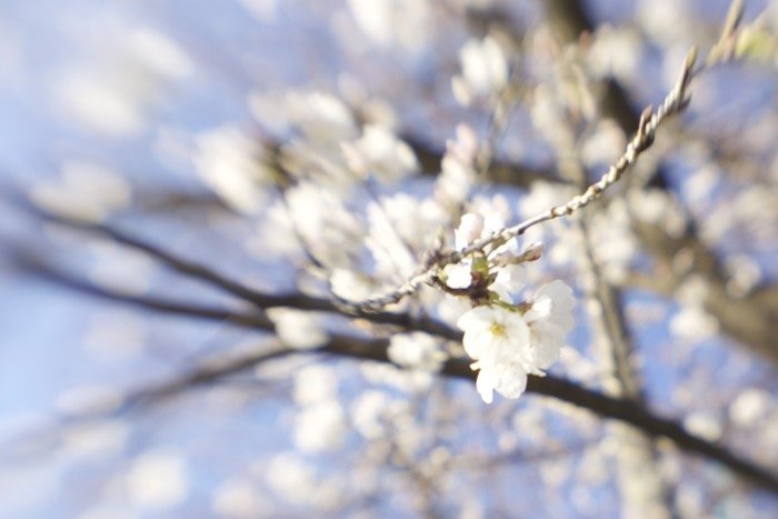 Artistic blurry image of cherry blossoms on a tree - soft focus photography