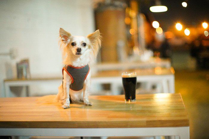 A small white dog and a pint of guinness on a wooden counter top - beer photography tips