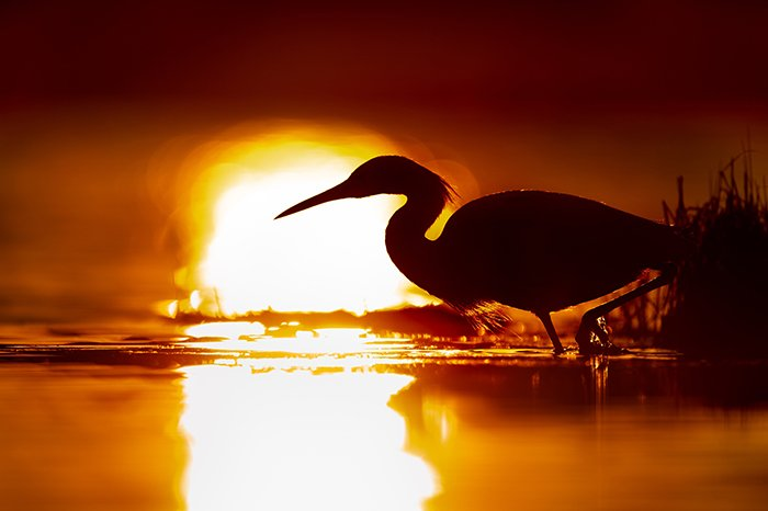 Stunning wildlife portrait of a heron in a lake at sunset - fine art photography mistakes