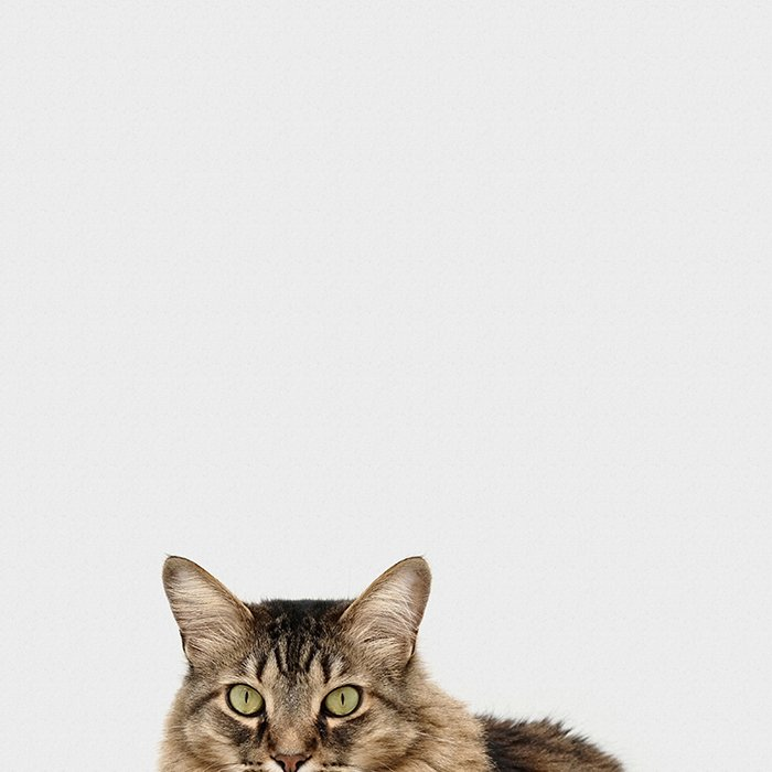 A smartphone pet photo of a tabby cat against white background