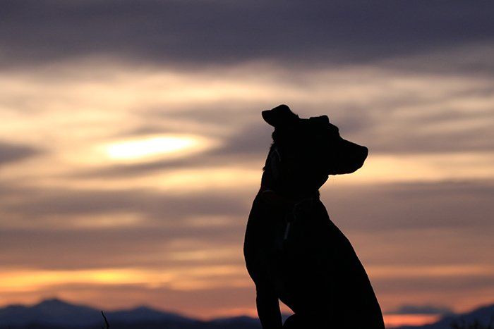 smartphone pet photography of the silhouette of a dog against a glorious sunset