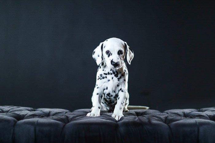 Adorable studio pet portrait of a dalmation puppy against a black background - photography studio lights