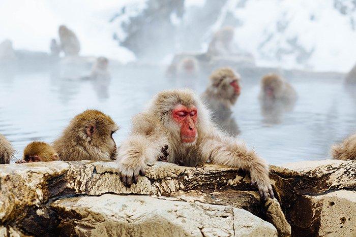 Charming Photo of Monkeys in Jigokudani Monkey Park - cool pictures of japan