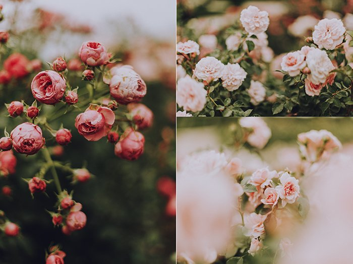 A triptych photography example featuring three different shots of rose bushes