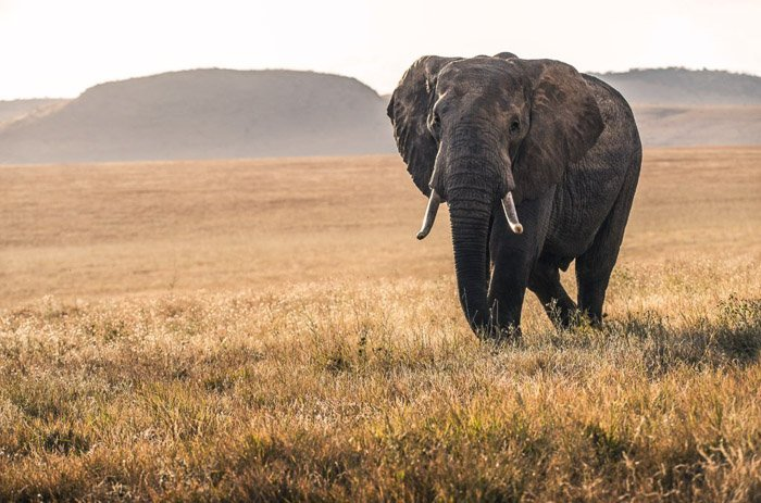 An elephant walking through a grassy landscape - wildlife photography clothes