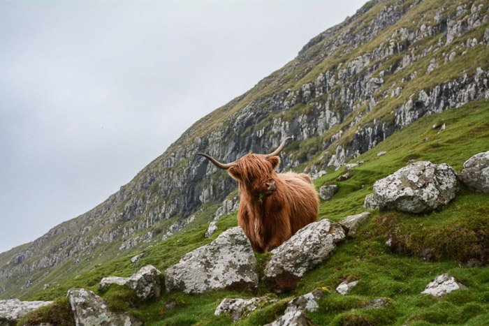 A highland cow standing in a rocky mountainous landscape - wildlife photography clothes