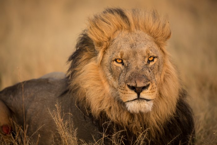 A stunning portrait of a male lion resting - safari photography