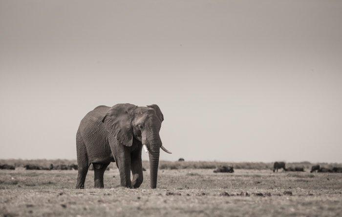 Monochrome safari image of a walking elephant