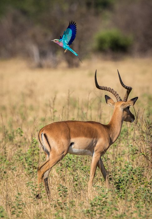 Cool safari portrait of a Lilac-breasted Roller flying above a walking Impala.
