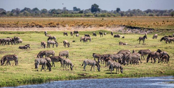 Zebras grazing in a safari park in Africa