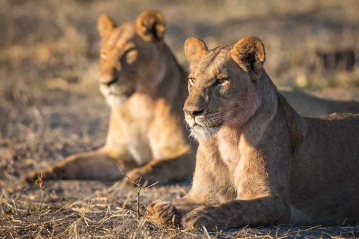 two lionesses basking in the morning sun - great safari photos