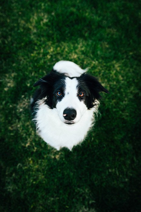 A portrait of a collie dog shot using remote triggers and off camera flash