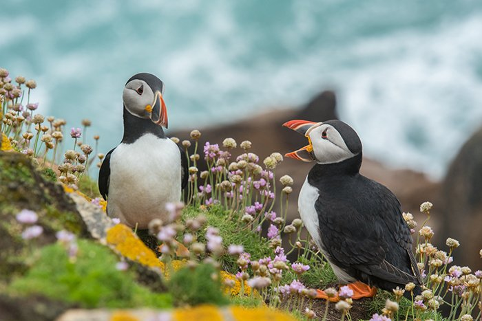 Cool close up wildlife photo of two puffins standing on a rock - cool animal photography examples