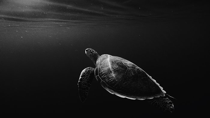 Atmospheric wildlife portrait of a turtle swimming underwater - cool animal photography examples