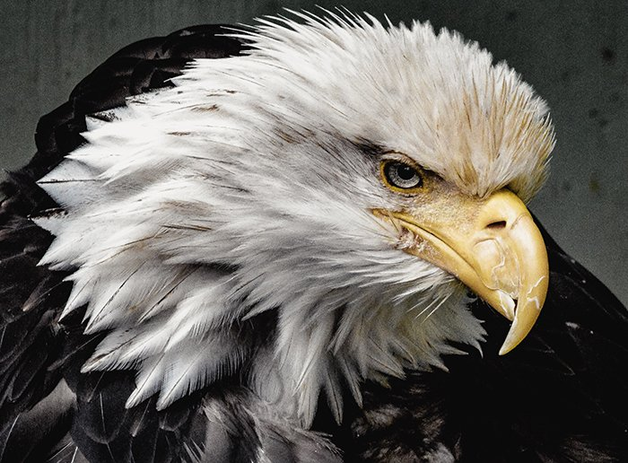 Atmospheric wildlife portrait of an American Eagle - cool animal photography examples