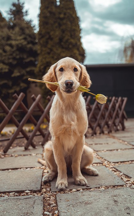 Cute animal photo of a labrador puppy sitting outdoors with a flower in its mouth - cool animal photography examples