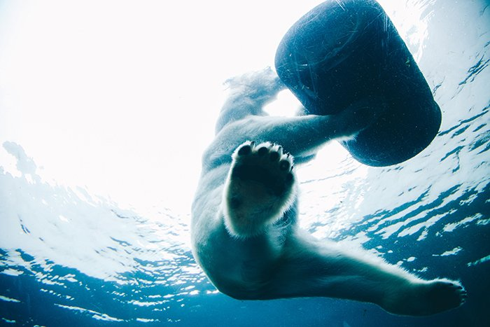 Atmospheric wildlife portrait of a swimming polar bear underwater - cool animal photography examples