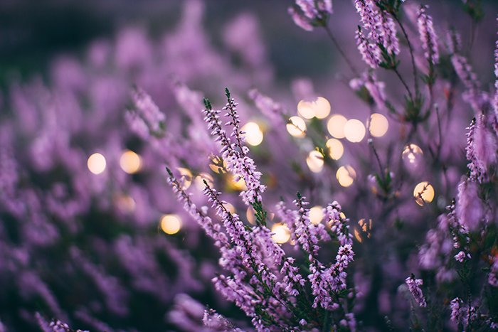 Beautiful photo of purple heather growing outdoors - form in photography