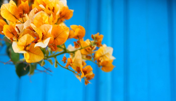 Colorful yellowish blossoms against a bright blue background - using vibrant colors in photography