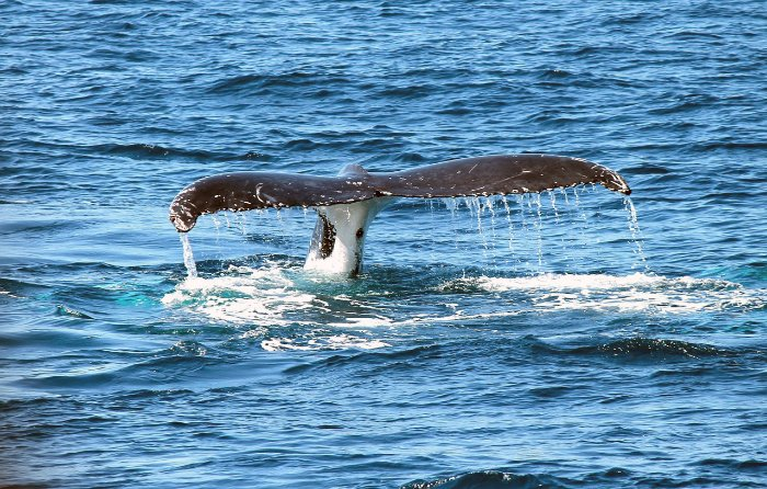 An awesome shot of a whales tail surfacing from the ocean