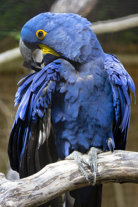 A blue parrot shot with a telephoto lens