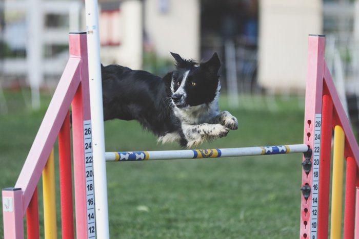 Cool pet photography action shot of a black and white dog jumping in an agility course