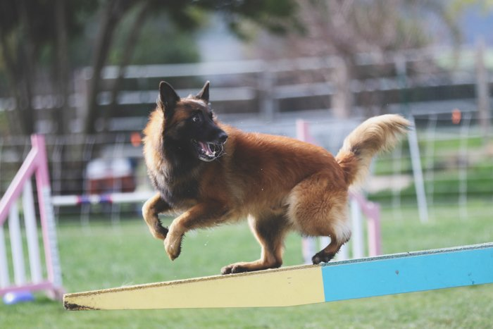 Cool pet photography action shot of a brown dog running during an agility game