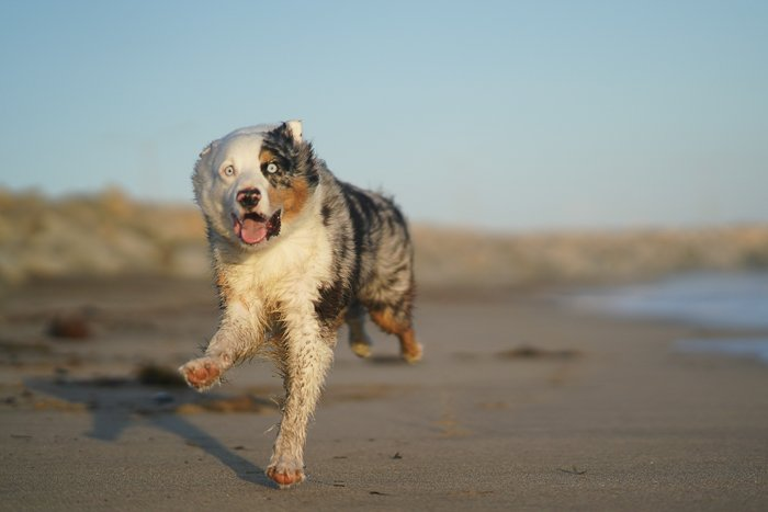 Cool pet photography action shot of a brown and white dog running on the beach