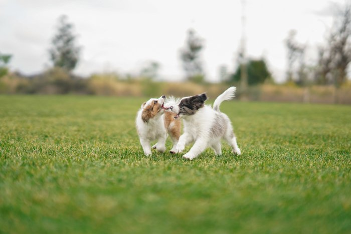 Cool pet photography action shot of two puppies running on grass