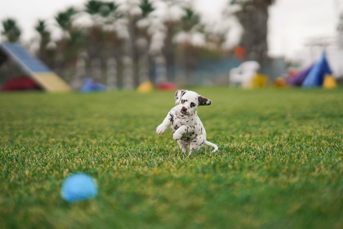 Adorable pet photo of a Dalmatian puppy playing with a ball - dog action photography