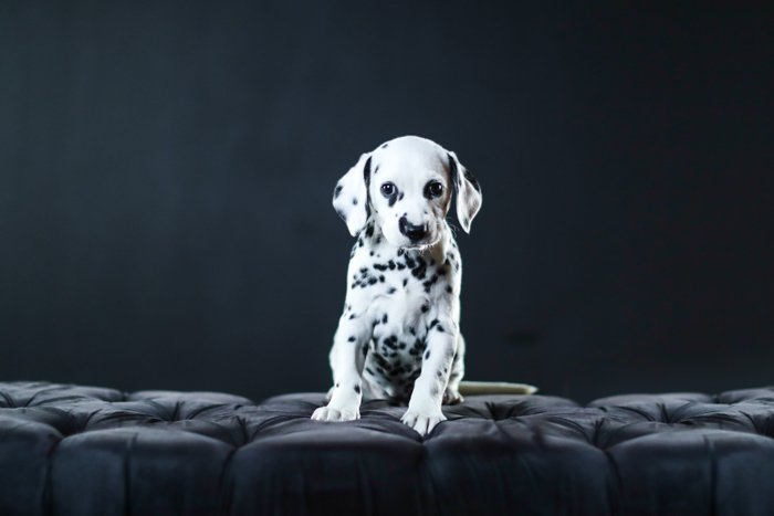 Cute pet portrait of a dalmation puppy sitting on a fancy chair indoors