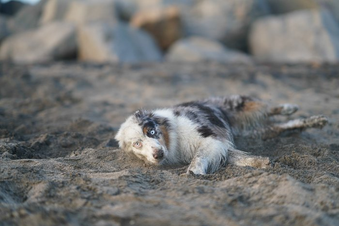Cute pet portrait of a dog lying on a sandy beach - exposure settings for pet photography