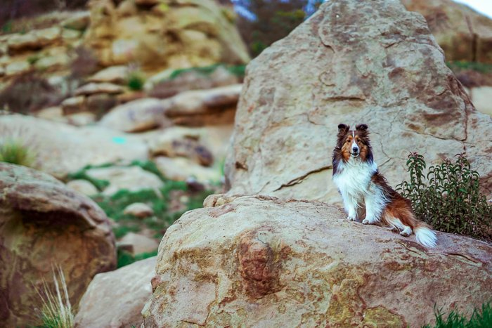 Pet portrait of a brown and white dog resting on rocks - exposure settings for pet photography