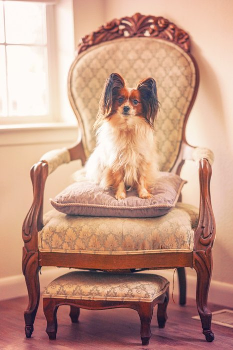 Cute pet portrait of a small brown and white dog sitting on a fancy chair indoors