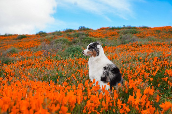 Cute pet portrait of a black and white dog sitting in a field of orange flowers - exposure settings for pet photography