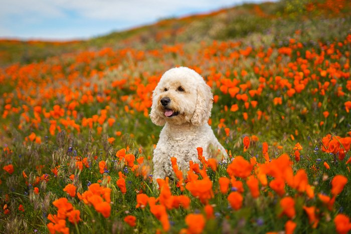 Cute pet portrait of a white dog sitting in a field of orange flowers - exposure settings for pet photography