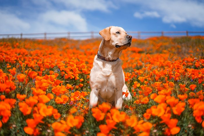 Cute pet portrait of a brown dog sitting in a field of orange flowers - exposure settings for pet photography