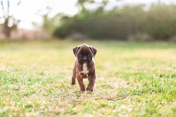 Cute pet portrait of a boxer puppy on grass - exposure settings for pet photography