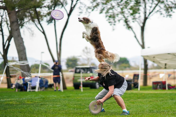 Action pet portrait of a dog jumping for a frisbee - exposure settings for pet photography