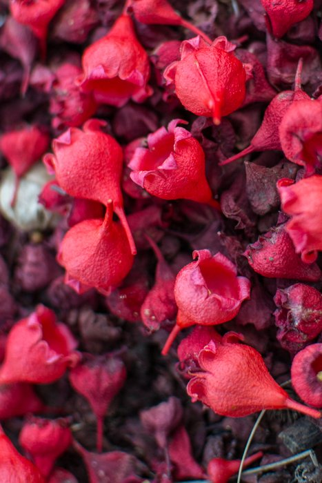 A close up of red flower petals on the ground