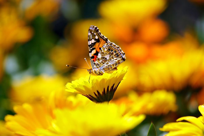 A butterfly on a yellow flower shot using analogous colors