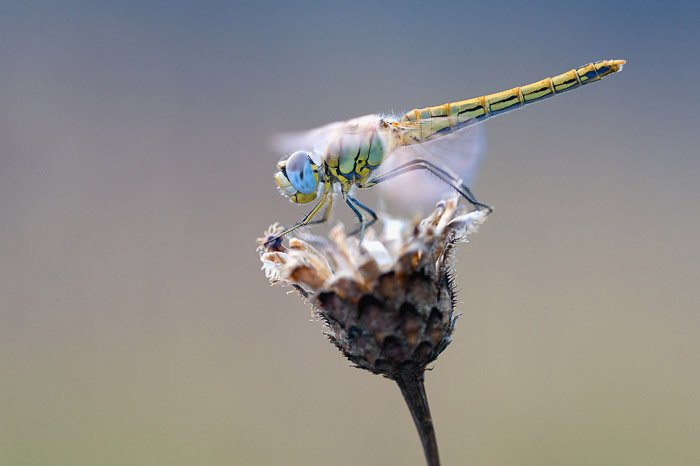 stunning close up photo of a dragonfly on a flower