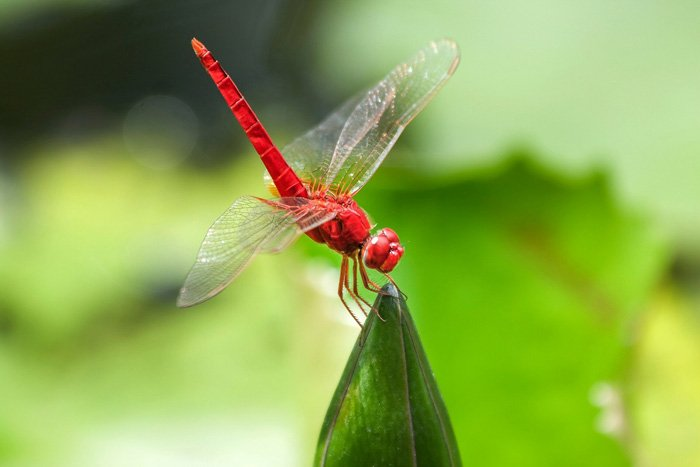 stunning shot of a red dragonfly on a leaf - beautiful dragonfly pictures