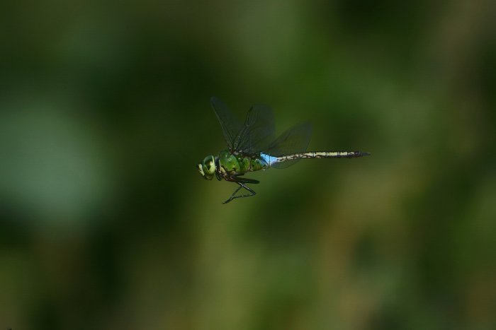 stunning shot of a green and blue dragonfly in flight - beautiful dragonflies pictures