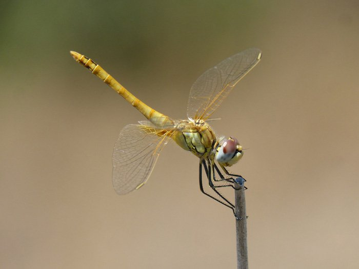 stunning shot of a yellow dragonfly on a blade of grass - beautiful dragonflies pictures